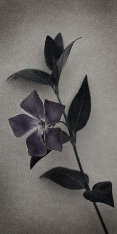 "Flowers in Neutral Moment-2015 "" Vinca major "" Archival pigment print Printed on cotton rag fine art paper Photo by Soichi Oshika"