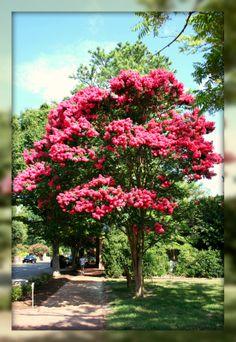 crepe myrtle | Crepe Myrtle Trees In Bloom, Williamsburg, Virginia