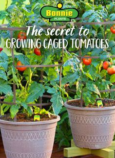 Tomatoes need your support to grow big and juicy. So here's the Bonnie secret to growing caged tomatoes.