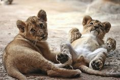 need a lion cub. now.