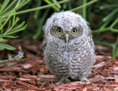 """Our cute baby screech owl won the """"Best of the Birds"""" Photo Contest by Birds and Blooms in Cute Baby Owl, Baby Owls, Cute Baby Animals, Cute Babies, Funny Animals, Exotic Birds, Colorful Birds, Owl Bird, Pet Birds"""