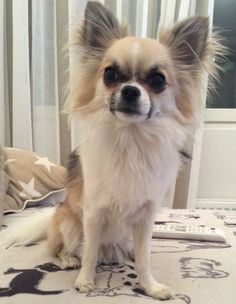 Chihuahua Nalle 1 yrs old