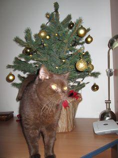 Schoko Cat | Pawshake
