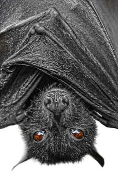 not a bird ,a bat