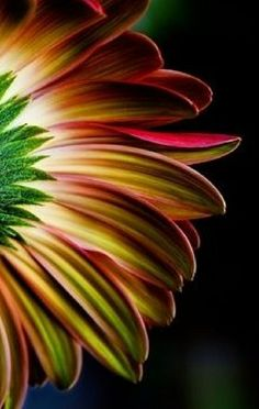 Car Reverse Umbrella,Abstract Petals Of Gerbera Flower With Water Drops Macro Close Up Photography,With C-Shaped Handle