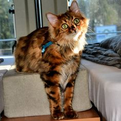 Elsa: Come on Dad I'm ready for a walk into the weekend! Have a wonderful day dear furriends! Wonderful Day, Adventure Cat, Im Ready, Bengal, Elsa, Dads, Lovers, Kitty, Animals