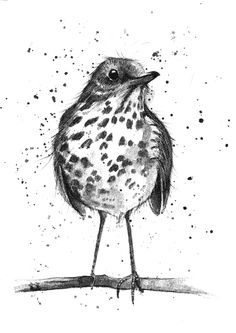 Thrush bird sketch http://michellecampbellart.com