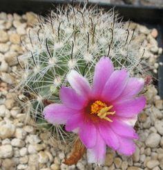 Mammillaria Insularis Cactus -