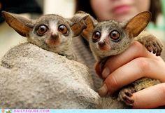 Newborn Bush Babies