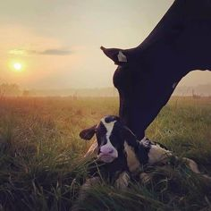 Newborn Holstein