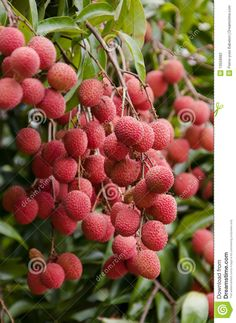 While lychee fruit is grown domestically in Hawaii and Florida, it is a tropical fruit that indigenous to China. Red in color, lychee fruit grow in heart-shaped silhouettes. They have a tough, inedible, yet thin rind that peels relatively easily. Once through the tough exterior, the lychee fruit has a whitish, juicy flesh that surrounds hard, brown pits. Lychee has a subtle yet appealing, scented taste and is... FULL ARTICLE…
