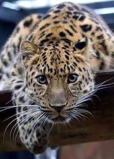Top 10 Endangered Species. There are only 30 known Amur Leopards currently alive.