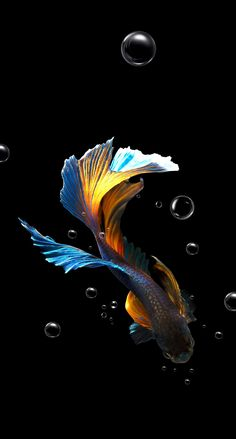 Their spectacular colors and patterns are part of the reason that koi fish are loved today and treasured by their owners. Colors of a koi fish should be bright. Pretty Fish, Beautiful Fish, Animals Beautiful, Fish Wallpaper, Animal Wallpaper, Colorful Fish, Tropical Fish, Hd Phone Wallpapers, Siamese Fighting Fish