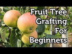 Fruit Tree Grafting for Beginners - YouTube