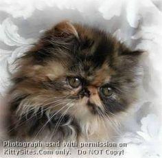 My first true friend. A Persian kitten.