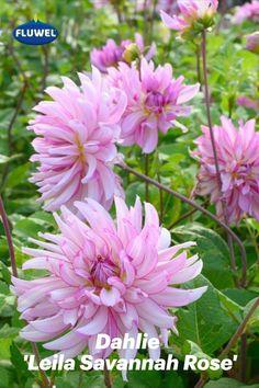 Die Dahlie 'Leila Savannah Rose' verblüfft mit einer unglaublichen Blütenfülle. Manch ein Dahlienexperte wird ihr flatterhaftes, etwas schlampiges Aussehen kritisieren, das durch die etwas zu langen und etwas zu dünnen Blütenstiele entsteht. Für uns ist das ein heiterer Teil ihres Charmes. Das verspielte Spiel ihrer tanzenden Blüten in verschiedenen Rosatönen ist für uns ein Genuss für das Auge. Savannah Rose, Savannah Chat, Pink, Daffodils, Serenity, Dahlias, Tulips, Eye, Game