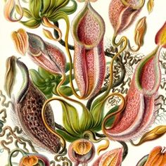 Ernst Haeckel Here's one from the history books. Ernst Haeckel was a German of… Science Illustration, Plant Illustration, Antique Illustration, Botanical Flowers, Botanical Prints, Flowers Nature, Illustrations Harry Potter, Ernst Haeckel Art, Impressions Botaniques
