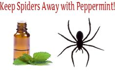 How to Get Rid of Spiders Naturally with Peppermint Oil