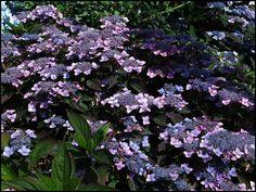 Vijver en Tuincentrum Pelckmans: Hydrangea serrata 'Bluebird'