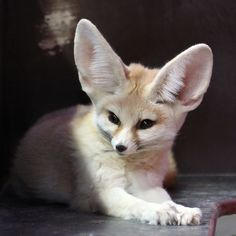 GAHHH... fennec fox