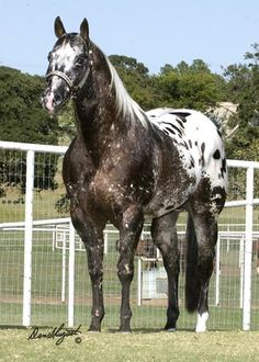 Oh my lord I use to ride a horse like this after I was getting to big for the minis. Her name was Cindy my dads uncle from Arizona gave her to me when i think I was 10. She was such a good horse for being a appy.