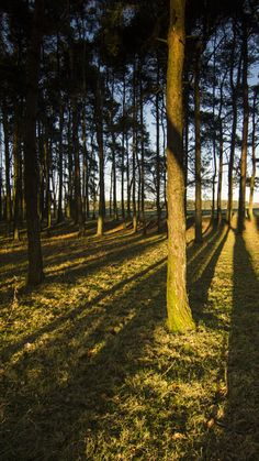 Trees in morning light. The Curragh, Co,Kildare