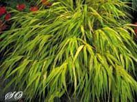 All Gold Japanese Forest Grass (Hakonechloa macra)