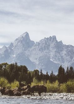 Buffalo in Grand Teton National Park.| ღஜღ~|cM