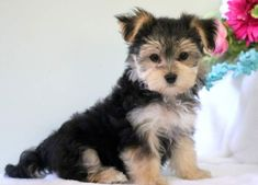 Teddy | Keystone Puppies: Puppies for Sale | Health Guaranteed    #morkie #keystonepuppies