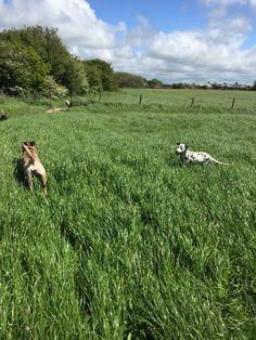 Grass bigger than the dogs