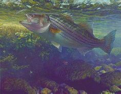 Striped Bass - Painting Art by Mark Susinno - Nature Art & Wildlife Art - Underwater Game Fish Art & Fly Fishing Scenes - Susinno Art Fly Fishing, Fishing Stuff, Animal Habitats, Types Of Fish, Red Fish, Fish Art, Freshwater Fish, Wildlife Art, Photo Art