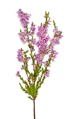Heather. COLORS: white, pink, purple, red, green, gold, magenta   SEASON: late summer   SCENT: none   COST: $   MEANING: admiration, good luck.