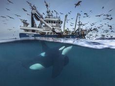 Wal taucht unter Fischerboot Foto: Audun Rikardsen/Wildlife Photographer of the Year