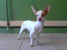 #A4757985 I'm an approximately 1 year old female chihuahua sh. I am not yet spayed. I have been at the Carson Animal Care Center since September 20, 2014. I will be available on September 25, 2014. You can visit me at my temporary home at C237.    Carson Shelter, Gardena, California https://www.facebook.com/171850219654287/photos/pb.171850219654287.-2207520000.1411429818./309060142599960/?type=3&theater
