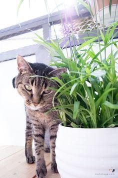 ungiftige-balkonpflanzen-fuer-katzen-zyperngras