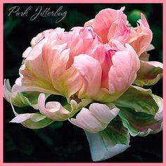 Пион PINK JITTERBUG (ПИНК ДЖИТТЕРБАГ) Macro Flower, Flower Oil, Blossom Flower, Flower Vases, Art Floral, Floral Artwork, Floral Design, Amazing Flowers, Beautiful Flowers