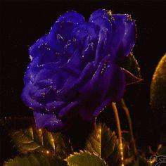 Kék rózsa.gif