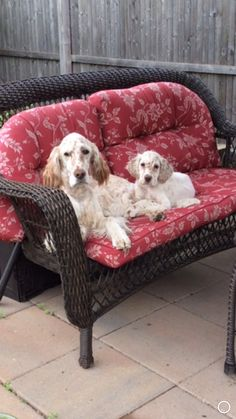 Our English Setters, Lucy and Penny, taking a rest after a romp in the yard.