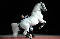 Lipizzaner performing Seen them perform in South Africa, England, Austria and America. Amazing performances