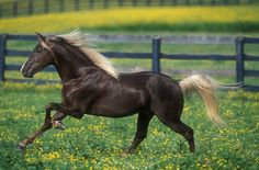 They truly embody the spirit offreedom.  The Rocky Mountain Horse.