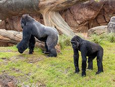 What will the gorillas do next? Watch the Gorilla Habitat Cam from the Houston Zoo to find out!