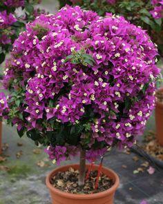 plantada em vaso