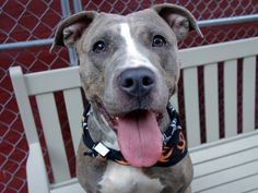 ♡ SAFE ♡  Manhattan Center FAITH aka CHRISSY – A1057953 FEMALE, GRAY / WHITE, PIT BULL MIX, 2 yrs STRAY – ONHOLDHERE, HOLD FOR ID Reason STRAY Intake condition EXAM REQ Intake Date 11/15/2015, From NY 10002, DueOut Date11/18/2015,