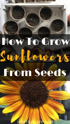 How to grow sunflowers from seeds! Want to grow an eye-catching and budget friendly garden this summer? Use my step-by-step guide on how to start, grow, and plant sunflowers from seeds for beautiful blooms throughout the summer! Planting Sunflower Seeds, Planting Flowers From Seeds, Sunflower Seedlings, Sunflower Garden, Planting Seeds, Perennial Sunflower, When To Plant Sunflowers, Growing Sunflowers From Seed, Gardens