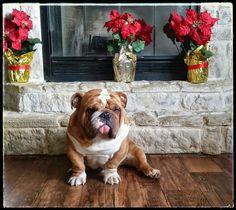 Bulldog and poinsettias... beautiful! #Buldog