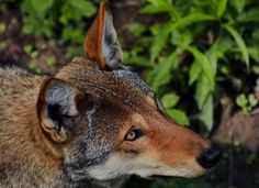 Protect North Carolina's Endangered Red Wolves. http://forcechange.com/40983/protect-north-carolinas-endangered-red-wolves/# @Sea Shepherd Conservation Society #defendconserveprotect
