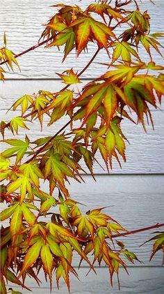 Orange Dream Japanese Maple - love Japanese Maples