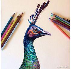 peacock color pencil drawing by morgan davidson