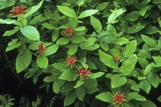 Western spice bush (Calycanthus occidentalis) • Large shrub – California native • Locate in part shade to shade • Requires little or no pruning; prune to shape - See more at: http://www.pacifichorticulture.org/articles/brilliant-spring/#sthash.ZPcRNabR.dpuf