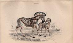 1836 zebras original antique african safari by antiqueprintstore